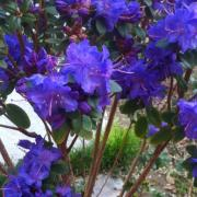 Rododendro Blue Diamonds