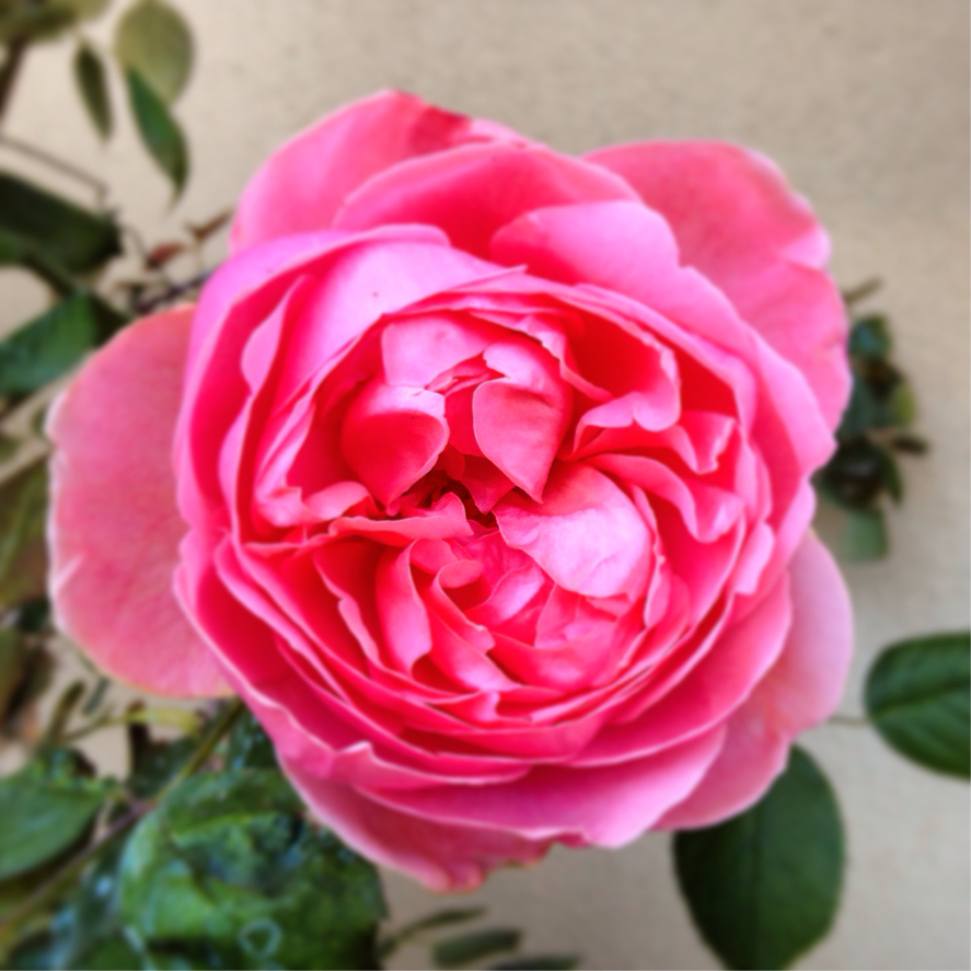 Rosa inglese nome for Rosa in inglese